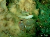 thumbs blenny